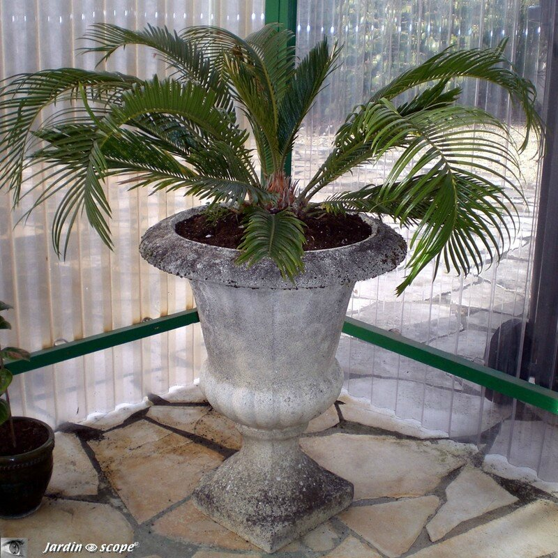 Le cycas une plante pr historique mi foug re mi palmier for Fausse plante palmier