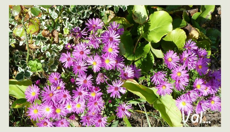 18 oct asters