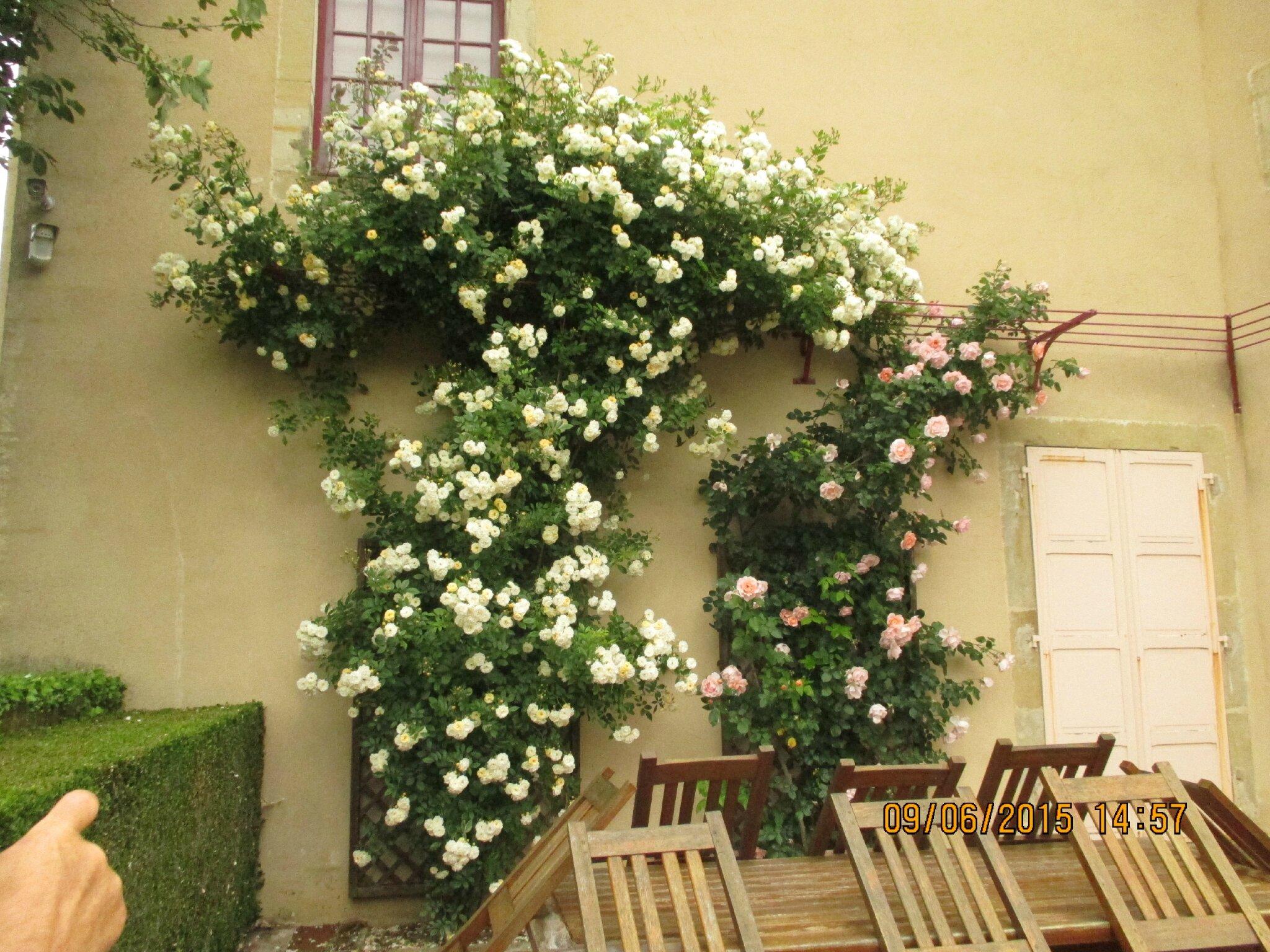 rosiers magnifiques