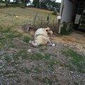 mouton_mort75