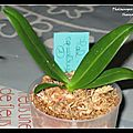 Phalaenopsis n° 16 - equestris