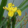 Iris d'eau St Derrien