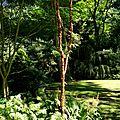 jeune bouleau noir (betula nigra) dans le jardin du vasterival 2012