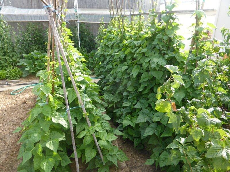 4-haricots tarbais (3)
