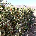 21 janvier - des tomates en janvier