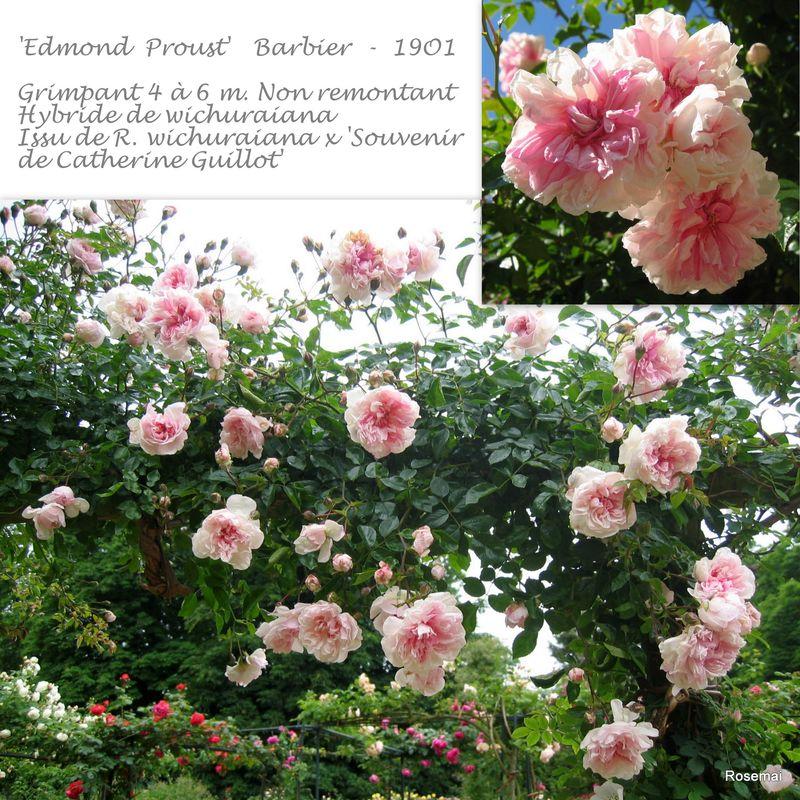 'Edmond Proust' (BARBIER - 1901)