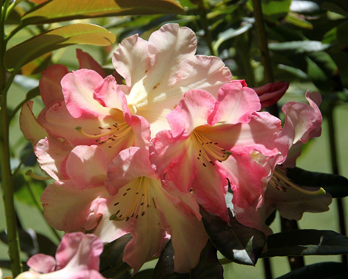 rhododendron Tofino
