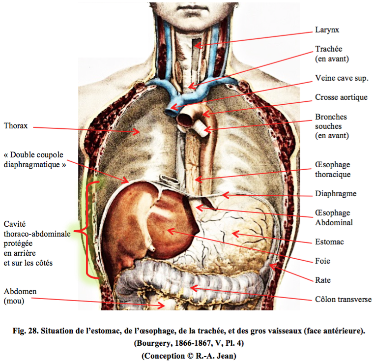 Famous Anatomie De L Abdomen Adornment - Internal organs diagram ...