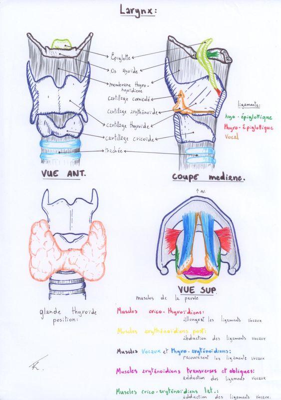 Schéma anatomie larynx