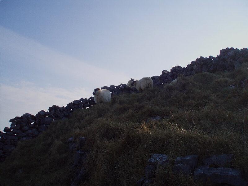 Moutons - Sheeps