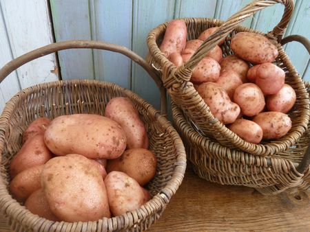 12-pommes de terre MIRA (3)