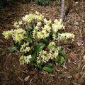 orchidées 2010 015