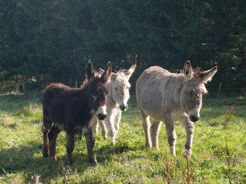 2008 10 17 Les trois ânes