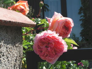 d_tail_roses_anglaises