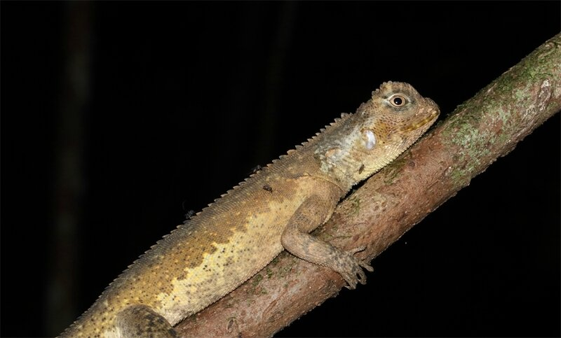 Uranoscodon superciliosus