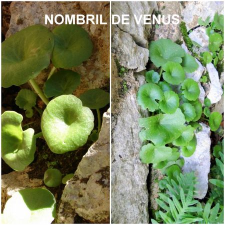 nombril_de_v_nus_umbilicus_rupestris__R_solution_de_l__cran_