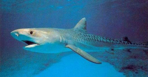 Differentes especes de requins requins passion - Photo de requin tigre a imprimer ...