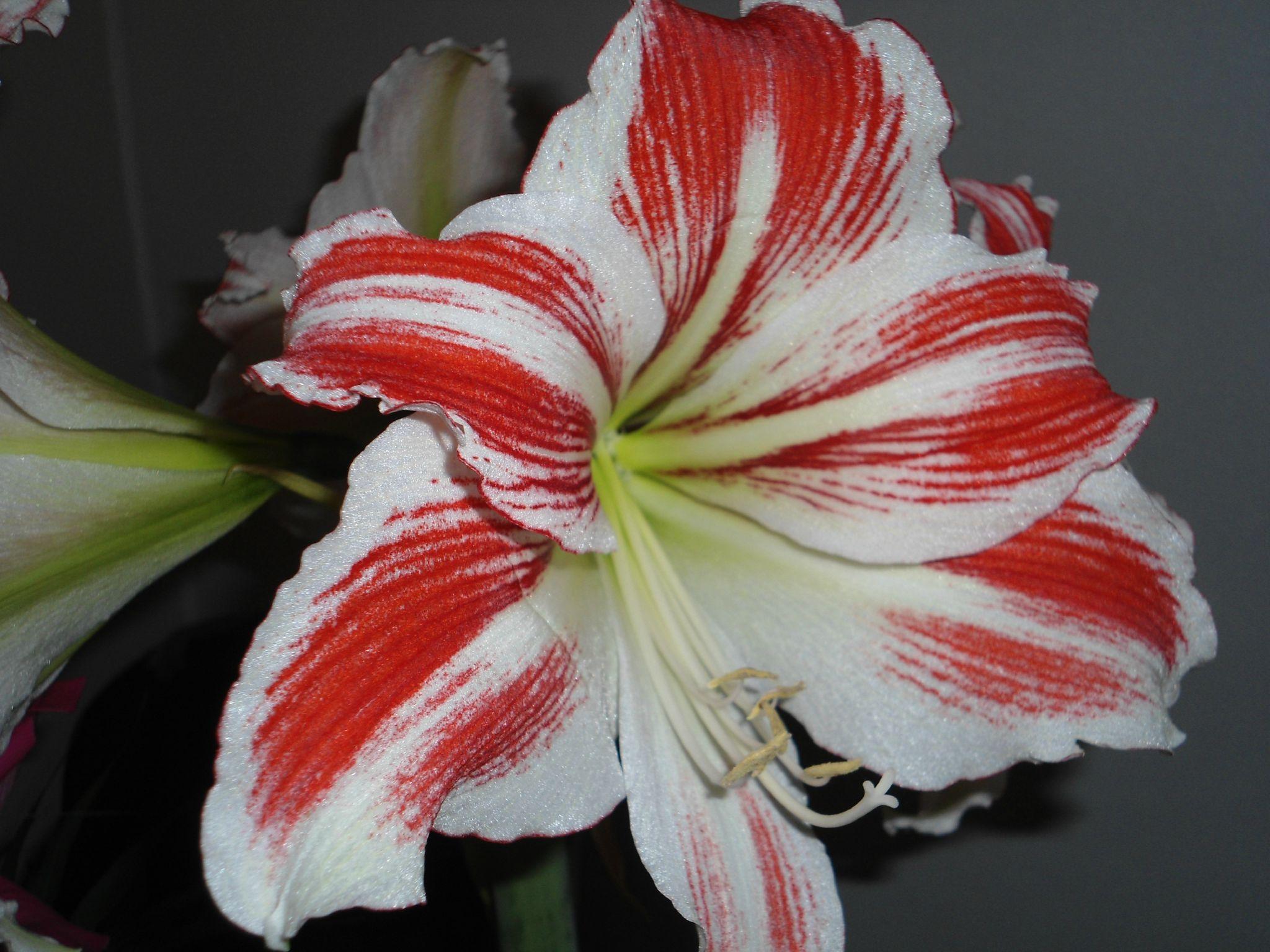 Les jolies fleurs de mon anniversaire ma p 39 tite cuisine for Les amaryllis fleurs