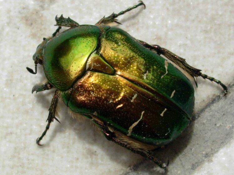 scarabee-dore-4449426532-872779
