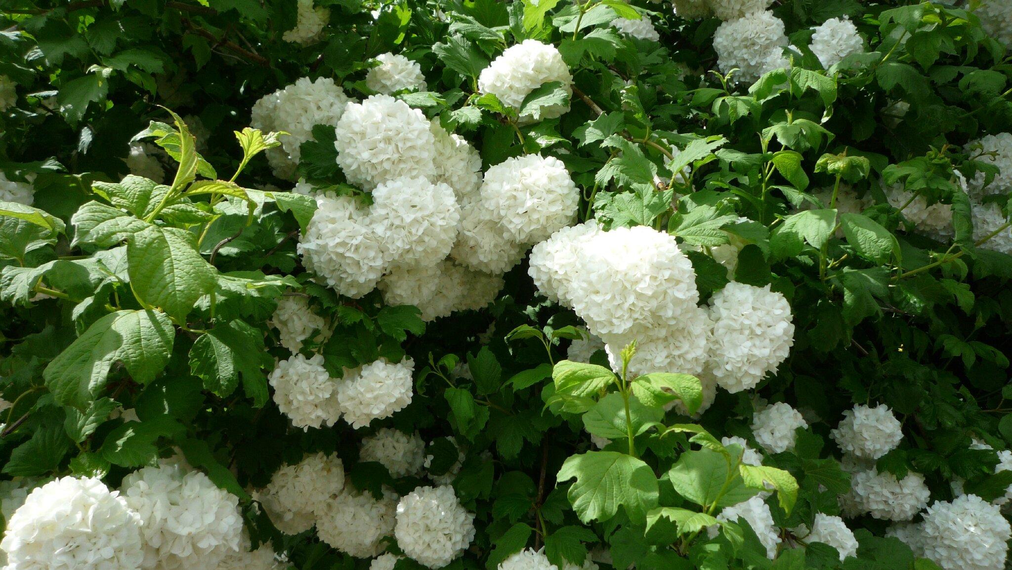 Les boules de neige binchy and her hobbies - Boule de neige plante ...