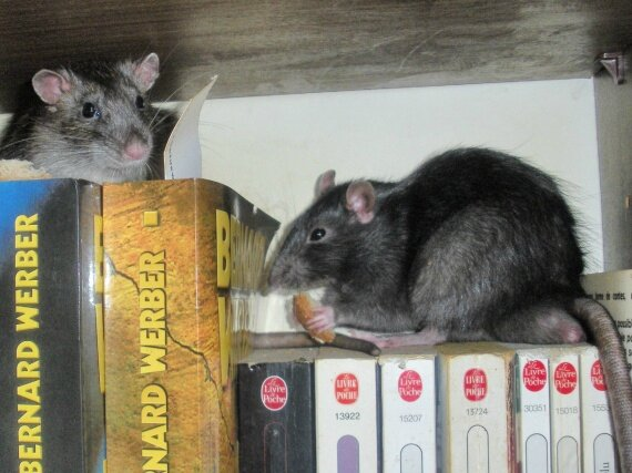 rat_bibliotheque