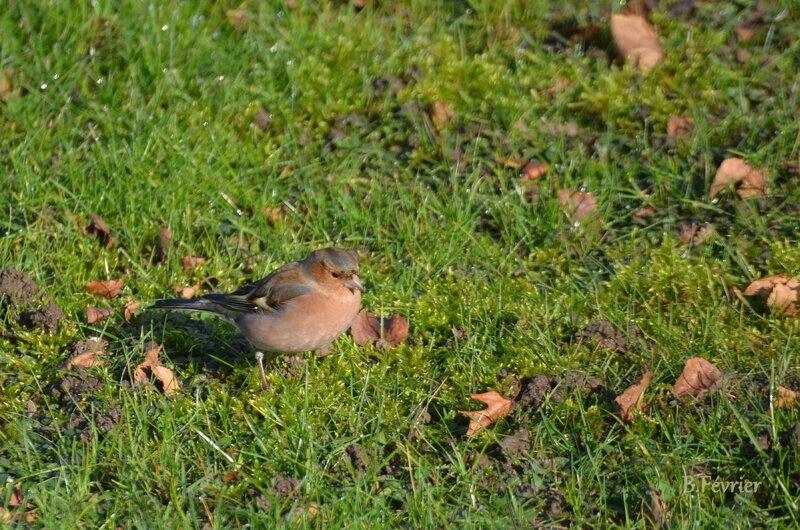 Pinson des arbres (Fringilla coelebs) Common chaffinch
