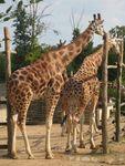 girafes__1_