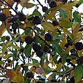 Néflier (Mespilus germanica), fruits, rue de Romainville.