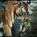 TIGRES (4)