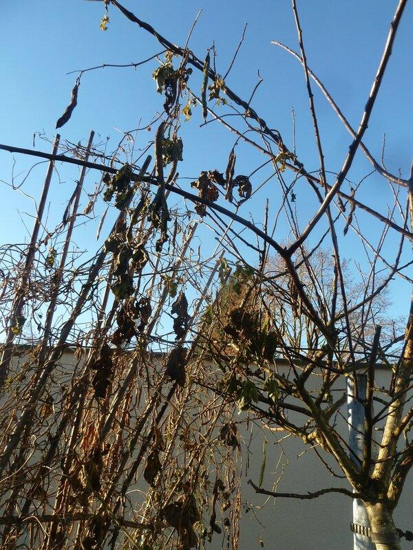 10-haricots et prunier (1)