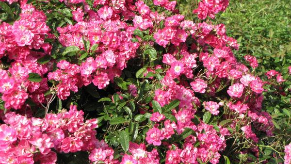 Petites fleurs galimatias et charabia - Comment tailler un rosier buisson ...