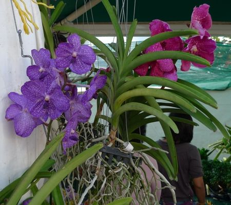 ORCHIDEES_3