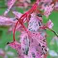 Acer conspicuum 'red flamingo'