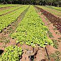 11 - culture de salades
