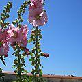 Rose trémière 3