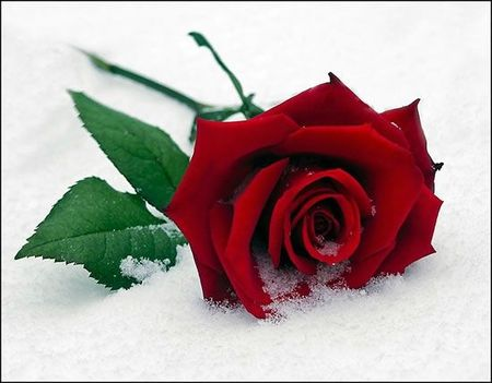 single-rose-snow-red