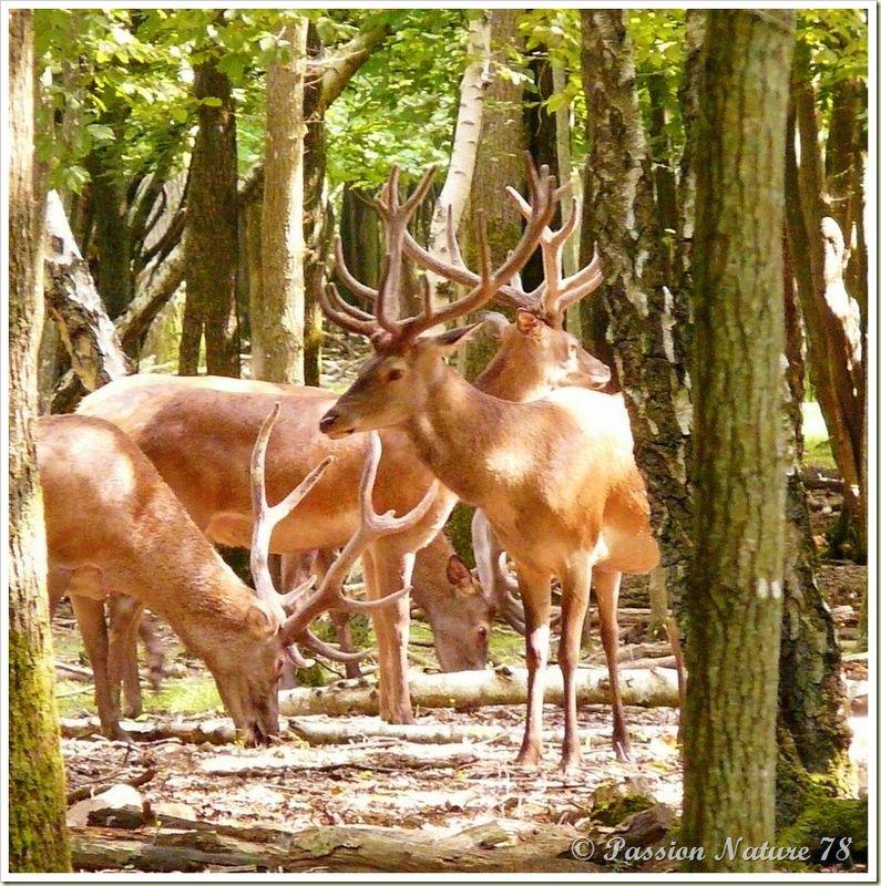 Rencontre avec les cerfs (12)