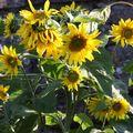 2009 07 29 Tournesol à plusieurs fleurs
