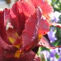 iris rouge