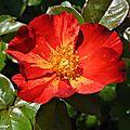 Un rosier arbuste à grande floribondité...