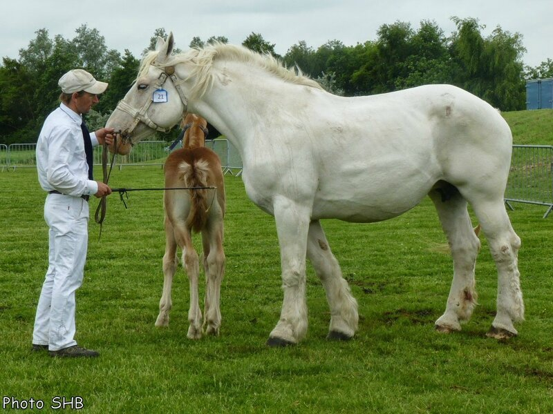 Quetty 6 - Concours Elevage local - Bourbourg (59) - 17 Juin 2014 - Photo SHB