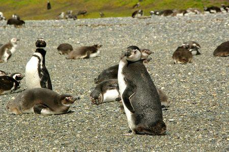 Pingouins_4