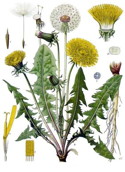 confiture de fleur de pissenlits