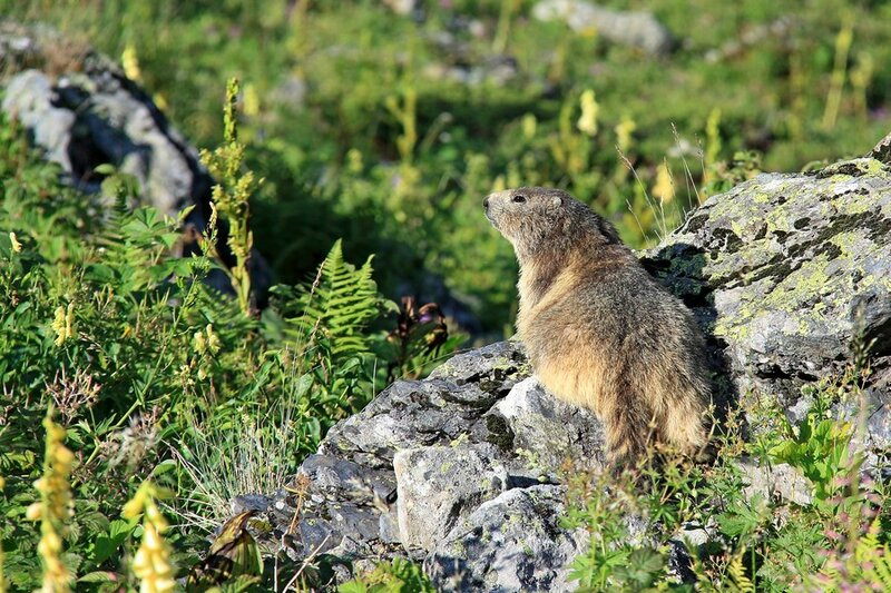marmottes1