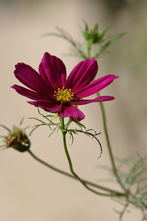 Fleur_violette
