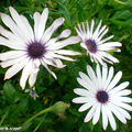 8743-Aster-sp