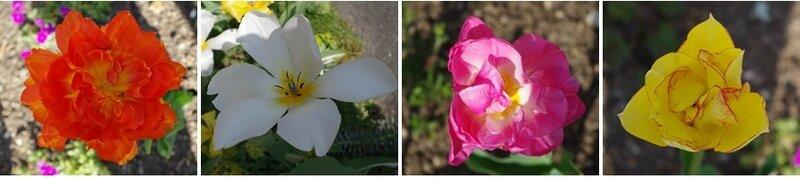 tulipes 2
