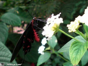 Parides photinus • Papilionidae