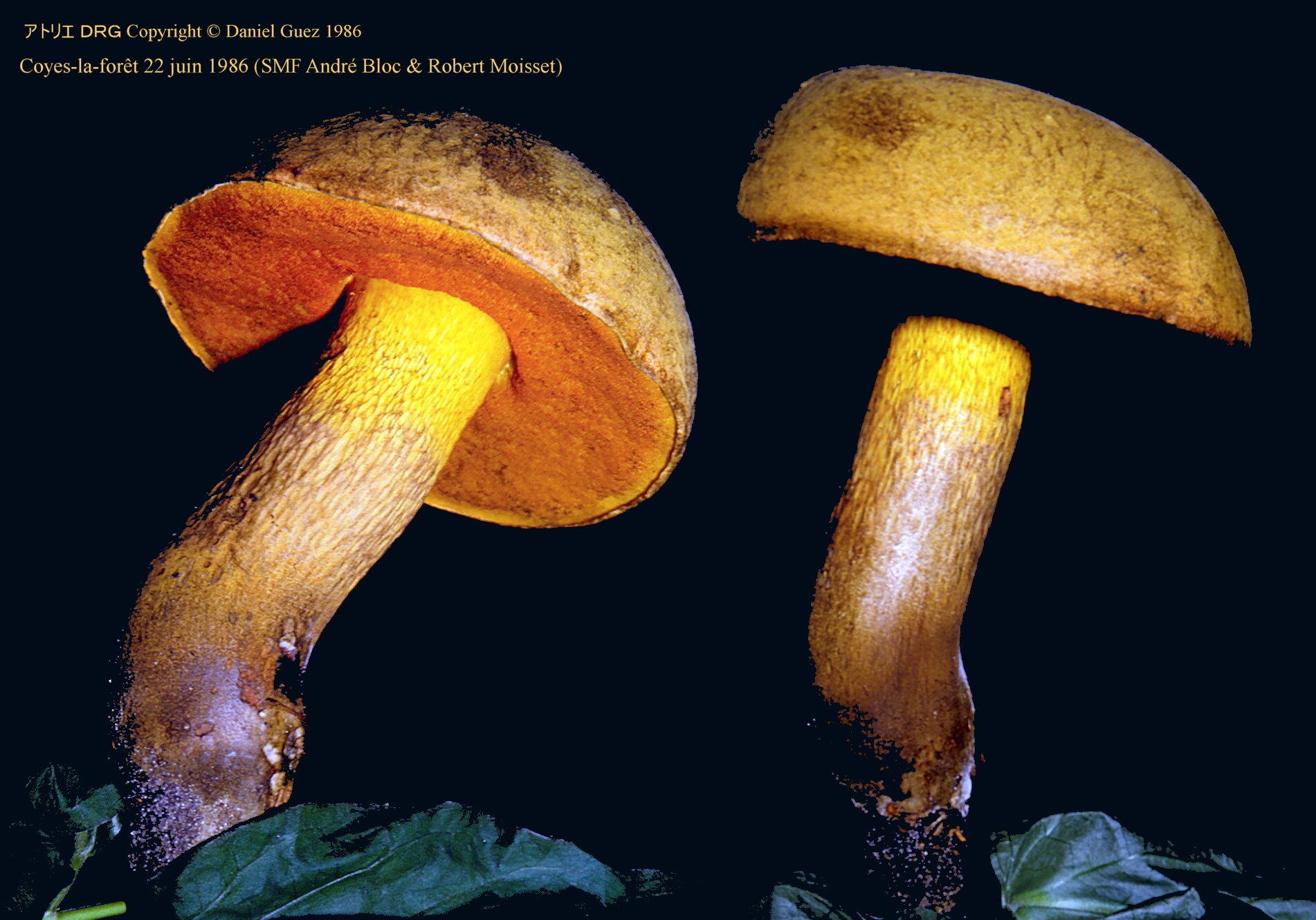 Boletus_luridus_1986_06_22_CR