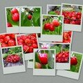 CERISES 